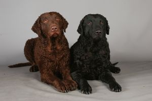crufts studio images/crufts 2013 curly coated retriever gundog portrait