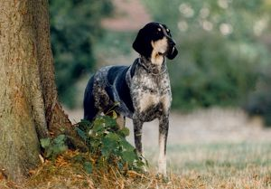 represented dog photographers/david dalton/outside spotty standing hound looking black
