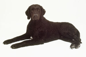animals/pets/black curly coated retriever woolly coat lies