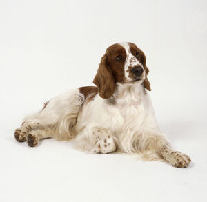 animals/pets/brown white welsh springer spaniel feathered hair