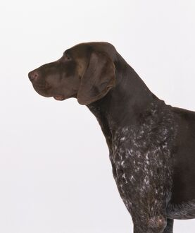 animals/profile/german short haired pointer head shoulders gun