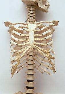 science technology/human rib cage jaw bones neck vertabrae leading