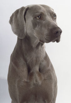 animals/pets/short haired dark gray weimaraner dog narrow muzzle
