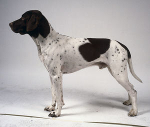 animals/profile/slender black white old danish pointer dog spotted