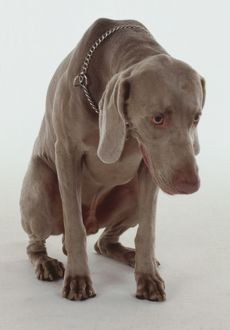 animals/animal/weimaraner dog crouches submissive position hanging
