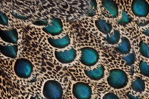 collections/gallo image collection gallo abstract art prints/extreme close up malay peacock pheasant polyplectron