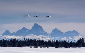 collections/gallo image collection gallo landscapes/trumpeter swans cygnus buccinator flying teton