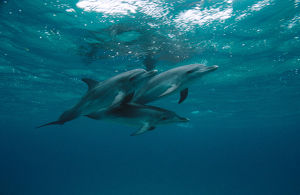 photographer galleries/mark spencer/atlantic spotted dolphin stenella frontalis