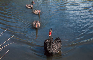 photographer galleries/john fairhall b/black swan cygnus atratus