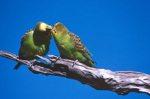 photographer galleries/roger brown/budgerigar melopsittacus undulatus