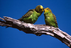 photographer galleries/roger brown/budgerigars melopsittacus undulatus