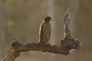 photographer galleries/mary ann mcdonald/crested serpent eagle spilornis cheela