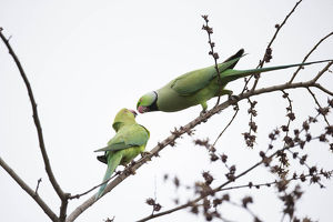 photographer galleries/joe mcdonald/indian ring necked parakeet psittacula krameri