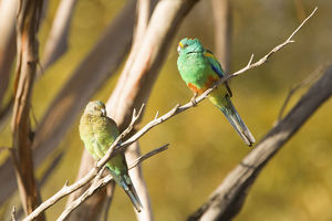 photographer galleries/nick rains/mulga parrots psephotus varius