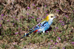photographer galleries/roger brown/pale headed rosella platycercus adscitus
