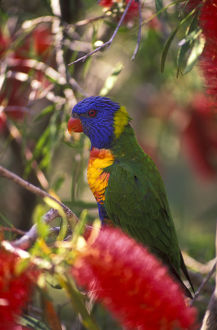 photographer galleries/mark spencer/rainbow lorikeet trichoglossus moluccanus