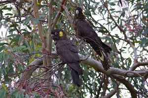 photographer galleries/john fairhall b/southern yellow tailed black cockatoo calyptorhynchus