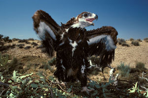 photographer galleries/roger brown/wedge tailed eagle aquila audax