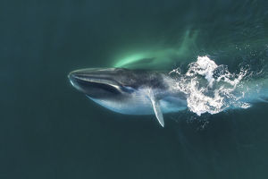 august 2019 highlights/aerial view fin whale balaenoptera physalus