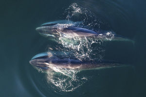 august 2019 highlights/aerial view fin whales balaenoptera physalus