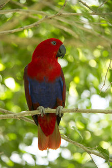 august 2019 highlights/eclectus parrot eclectus roratus female perched tree