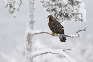 july 2019 highlights/golden eagle aquila chrysaetos perched snow