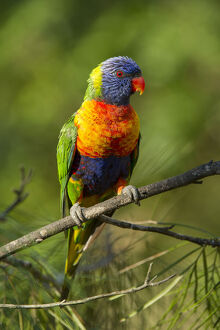 august 2019 highlights/rainbow lorikeet trichoglossus moluccanus branch