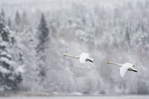 creative set 9/whooper swan cygnus cygnus pair flight snowy