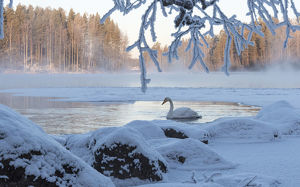 creative set 10/whooper swan cygnus cygnus river winter finland