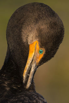 birds/double crested cormorant phalacrocorax auritus